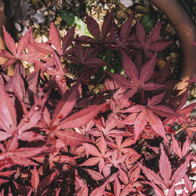 japanese-maple-tree-leaf-photography