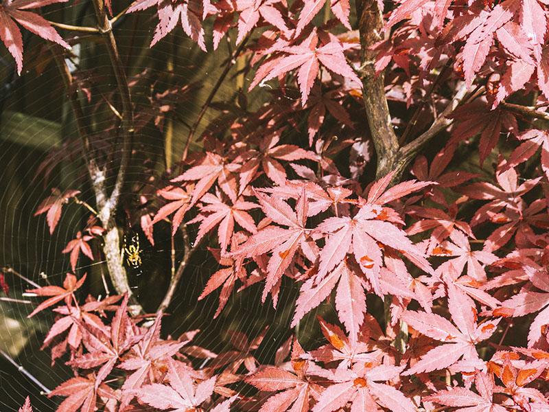 web-spider-japanese-maple-tree-leaf