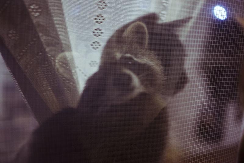 raccoon-vs-cat-at-window