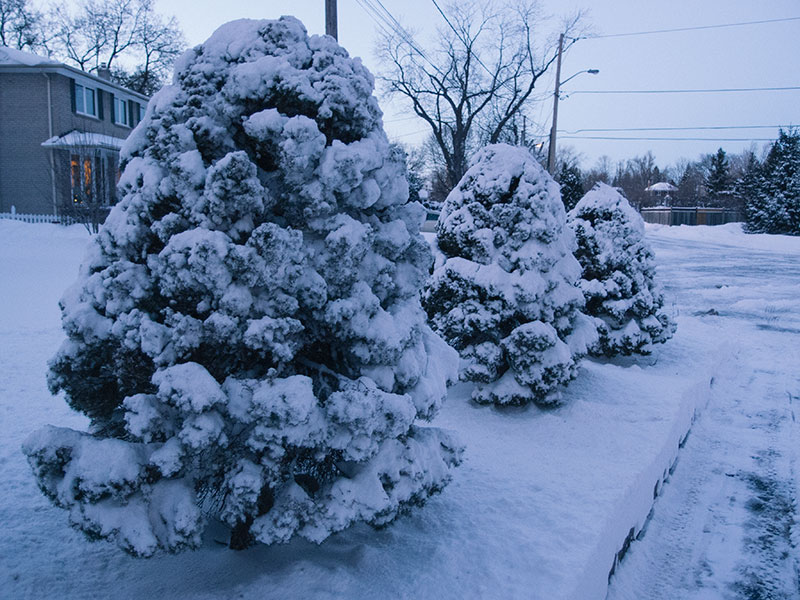 toronto-winter-tree