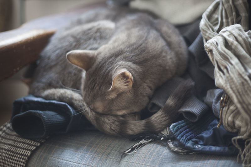 avery-cat-sleeping-in-clothes-on-couch-gray-blue