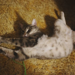 avery-cat-silly-stretching-poses-cute-belly