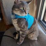 avery-blue-vest-red-collar-cat-window
