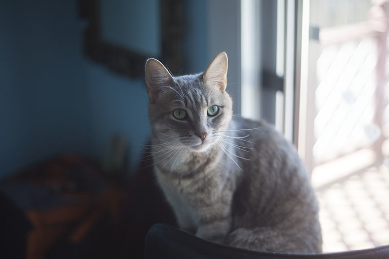 pet-cat-avery-blue-background-looking-cute