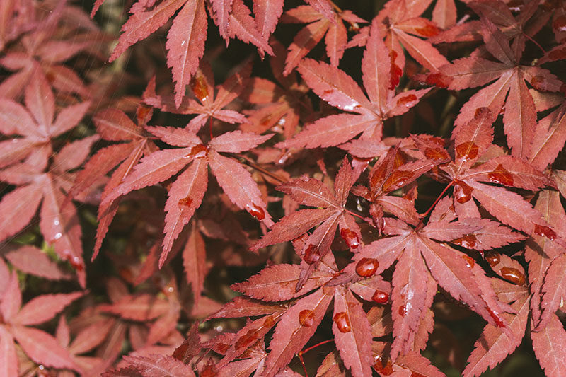 japanese-maple-leaves-red-small-garden