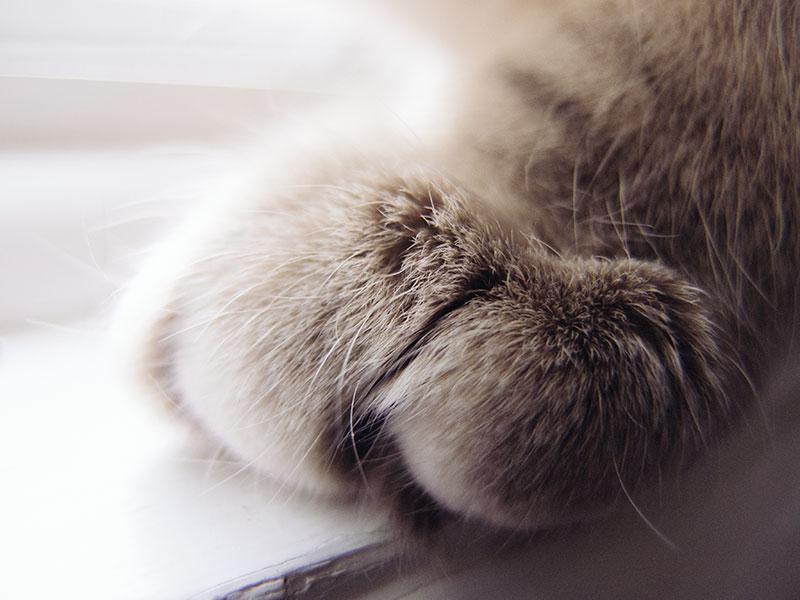 cat-paw-furry