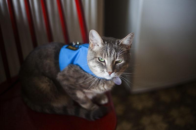 avery-sitting-cat-vest-blue-sturdi-products