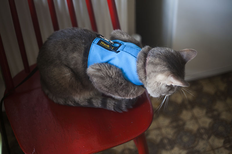 avery-waiting-breakfast-cat-blue-vest-strdi-pet