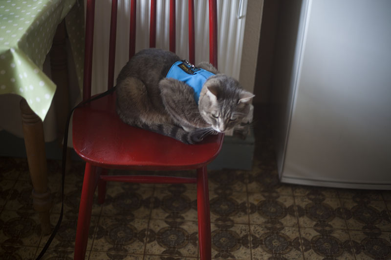 cat-blue-vest-sitting-red-chair-avery-waiting-breakfast