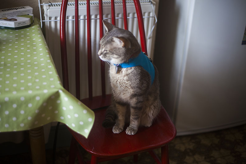 cat-sitting-on-red-chair-blue-pet-vest