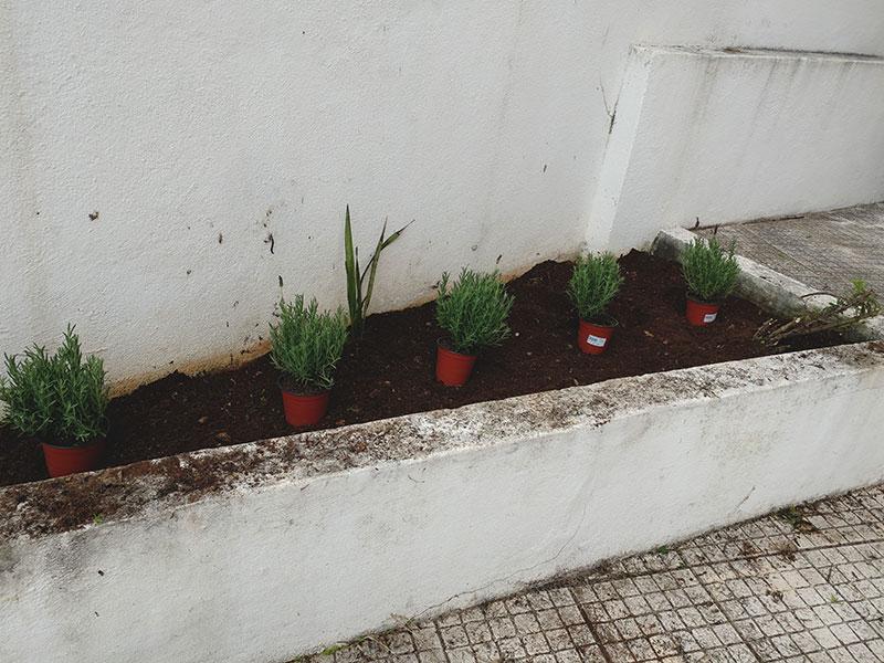 lavender-front-yard