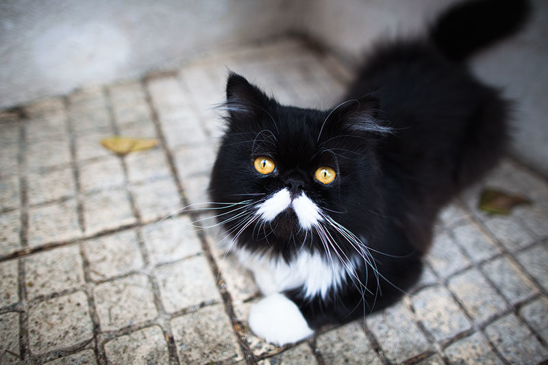 porthos-the-black-and-white-persian-cat